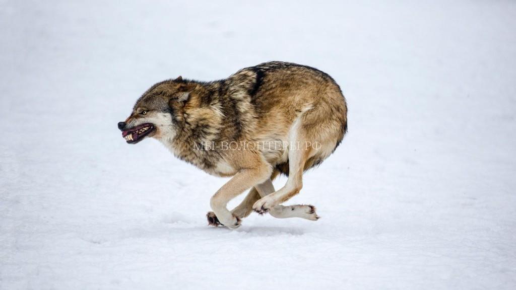 бег-волков