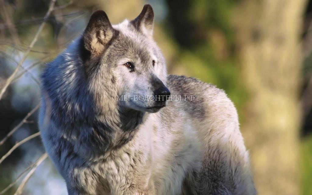 вес-волка