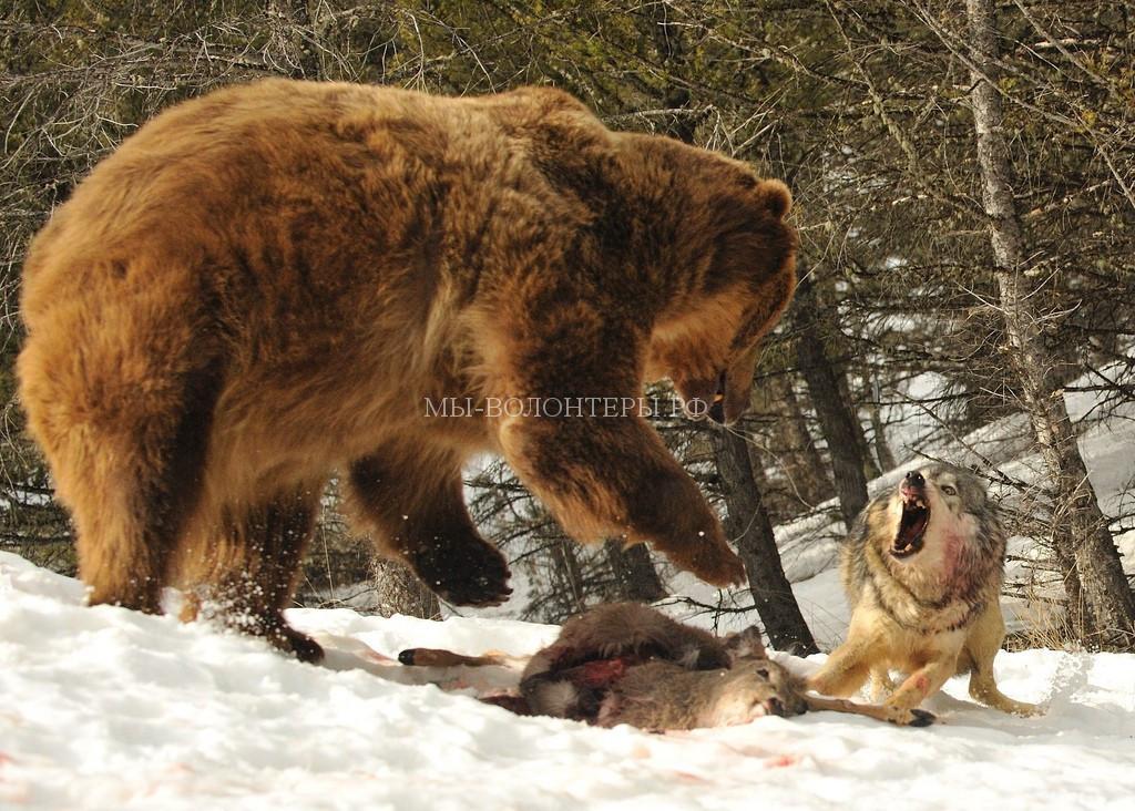 волки-бешенство