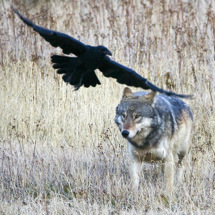 волки-вороны