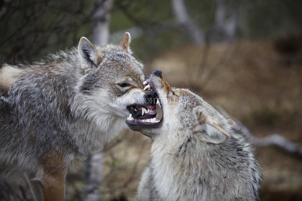волчанка