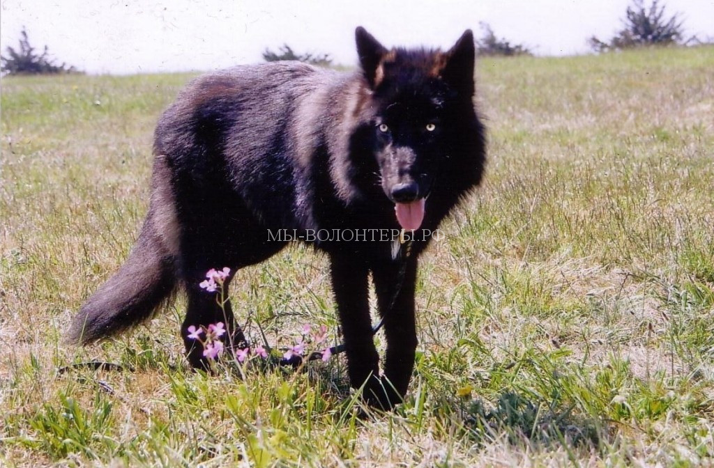 волчий-каннибализм