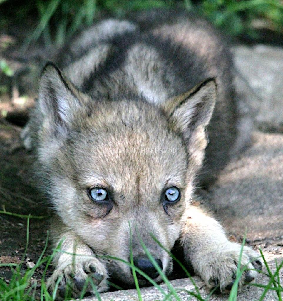 голубоглазые-волки