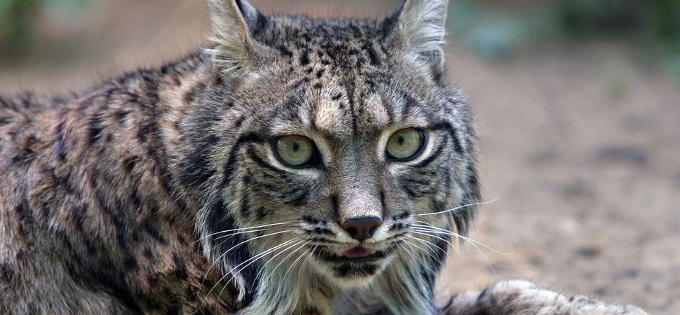 Исчезающие породы диких кошек