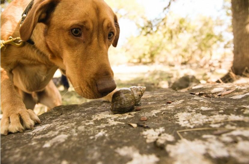 Две собаки из Техаса ищут на нюх улиток на Галапагосских островах