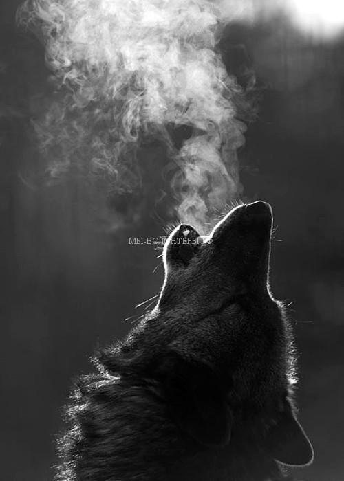нападение-волков