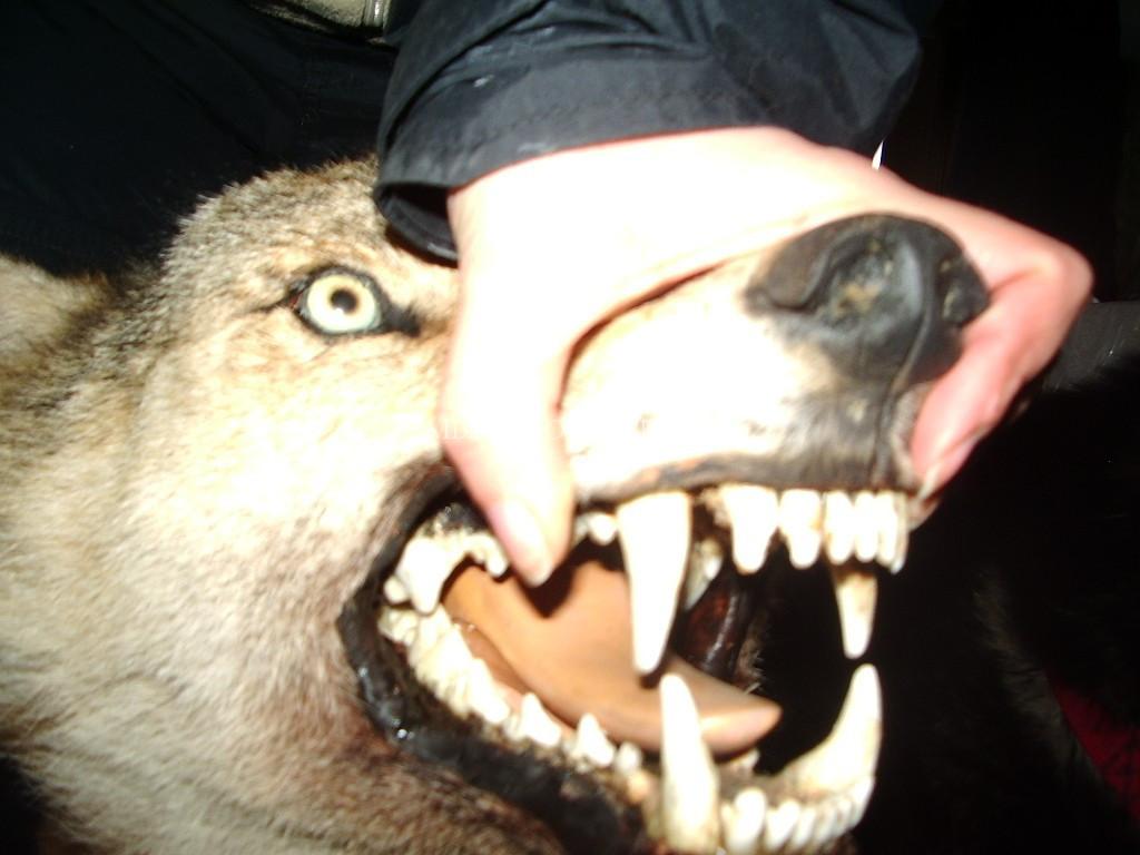 челюсти-волка