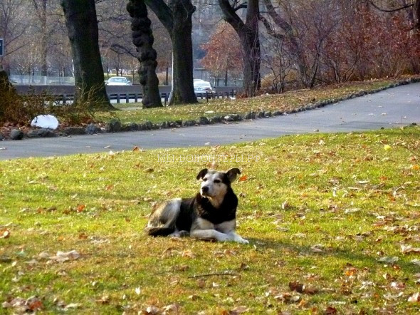 2.19.15-Woman-Sleeps-in-NYC-Park-to-Save-Senior-Feral-Dog8-590x442