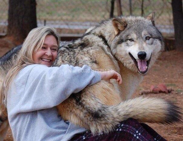 Волкособ — гибрид волка  и немецкой овчарки, рукотворное чудо