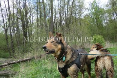 Весна, гуляем с собакой, клещи… Совет волонтеру по изъятию присосавшегося клеща