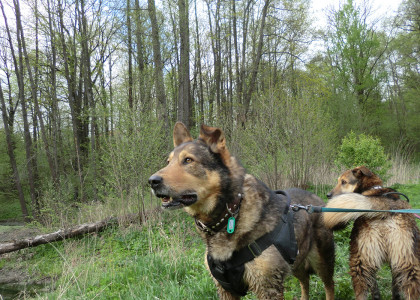 Прогулки в лесу с собакой, клещи