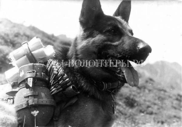 Собаки — воины и герои Великой Отечественной войны 1941-1945г.г.