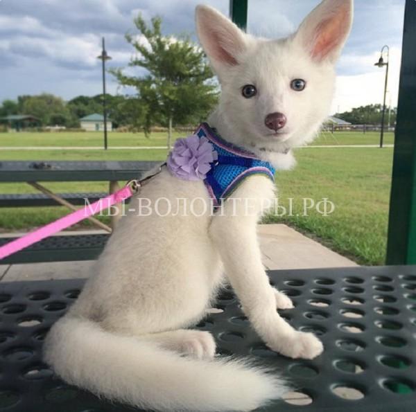 Рилай — белая лисица