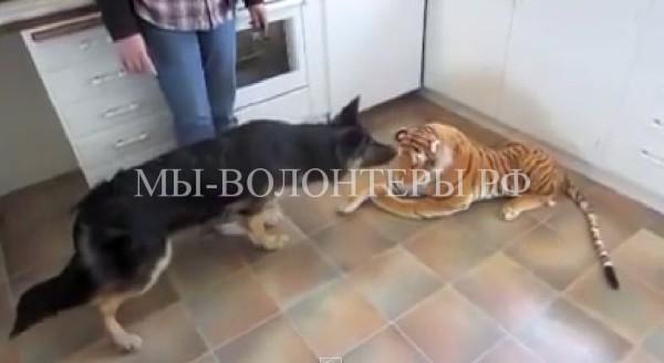 ВИДЕО: немецкая овчарка испугалась игрушечного тигра..