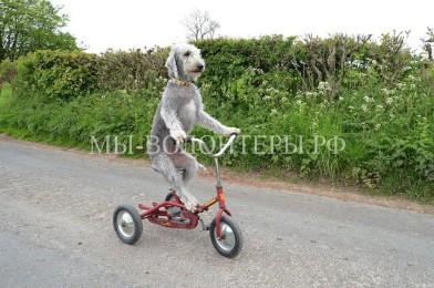 Пёс-велосипедист