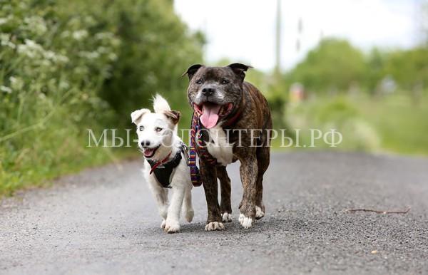 Стаффорд Базз поводырь слепой собаки