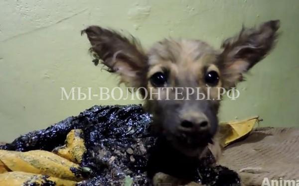 Видео: спасение индийским мальчиком 3-мес. щенка, завязшего в гудроне