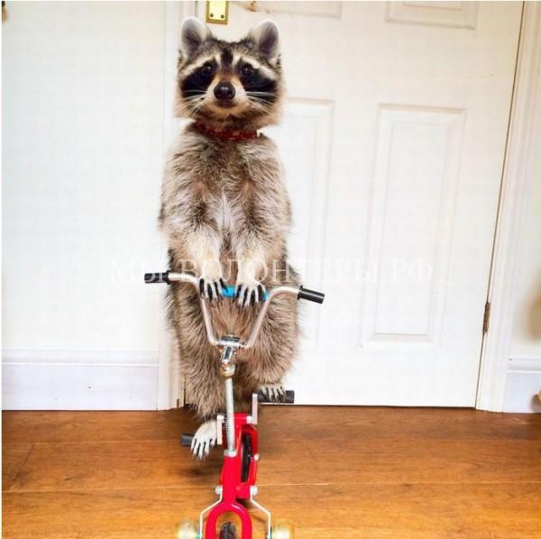 Енот умеет кататься на двухколёсном велосипеде и знает более 100 команд
