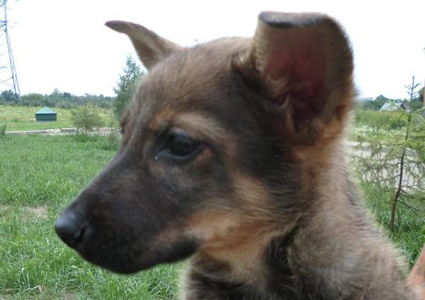 Щенок Памир, 3 месяца, ищет дом