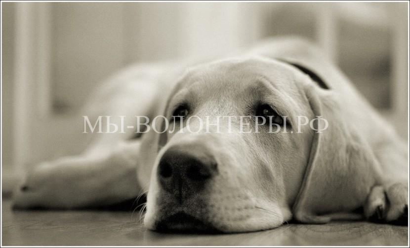 История болезни собаки Чернушка (Кусака) —  венерическая саркома