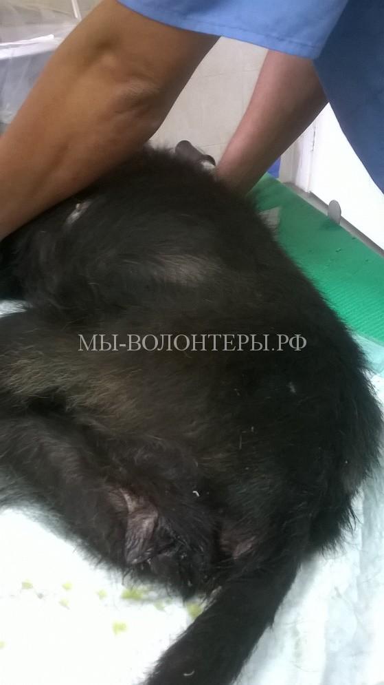 Собака - диагноз венерическая саркома