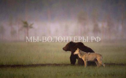 Необычная дружба между волчицей и медведем