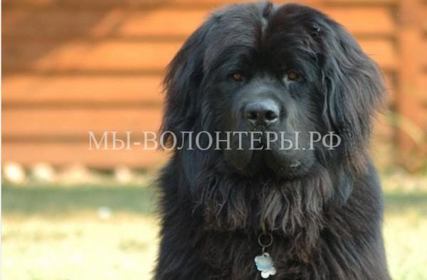 В.Путин подарил киргизской школьнице собаку породы ньюфаундленд