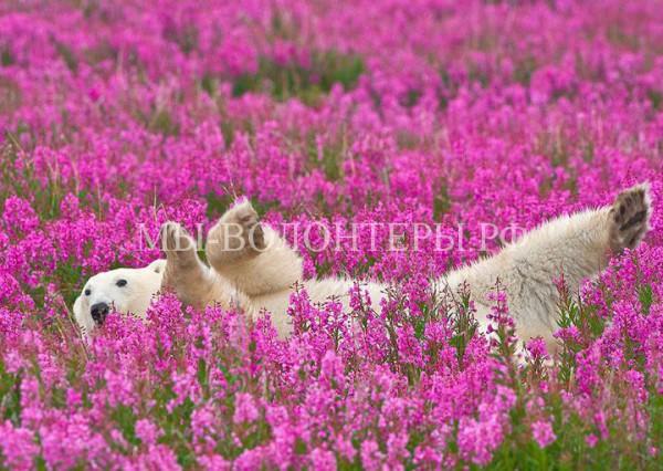 Белые медведи в цветах