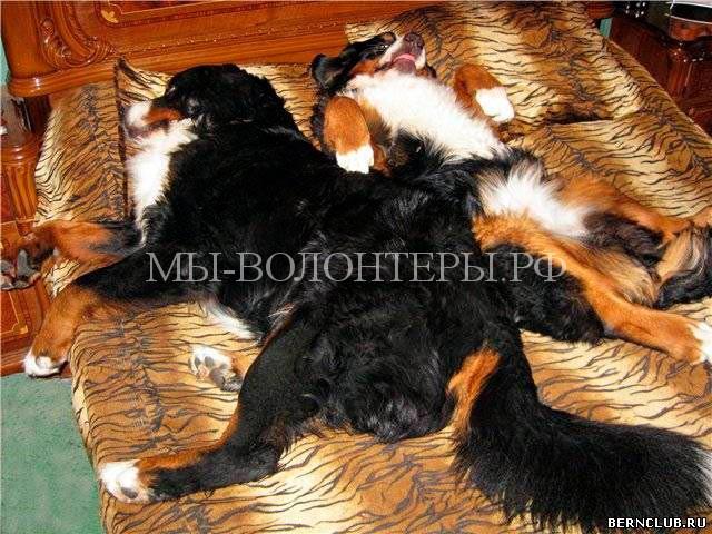 Бернский-зенненхунд-моя-кровать-1