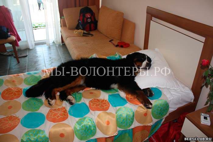 Бернский-зенненхунд-моя-кровать