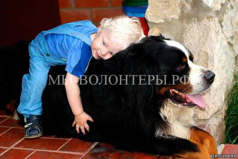 Бернский-зенненхунд-собаки-и-люди