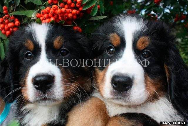 Бернский-зенненхунд-щенки-1