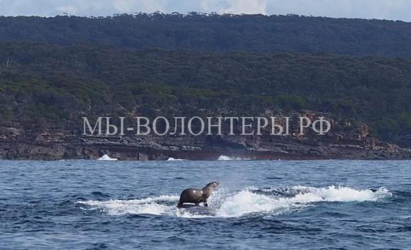 Тюлень плывет на ките!