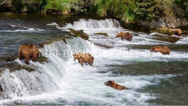 Медведи охотятся на лосося в реке Брукс