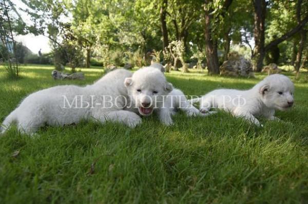 В сафари-парке Крыма появились на свет восемь белых львят