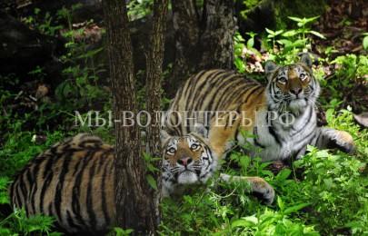 Программа подкормки амурских тигров, чтобы голодные тигры не выходили к людям