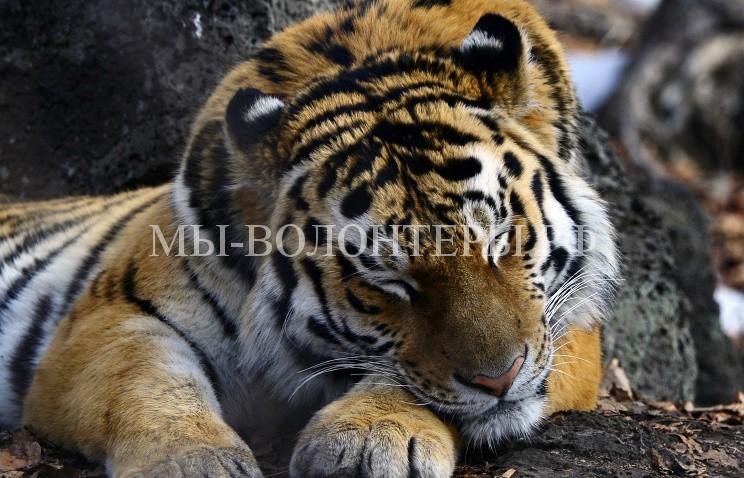 амурский тигр1