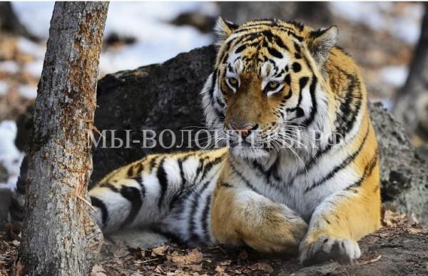 Дочка тигрицы, спасенной в Приморье, стала участницей программы разведения тигров