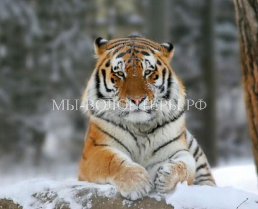 Тигр Упорный покинул границы национального парка «Анюйский» в поисках своего места обитания