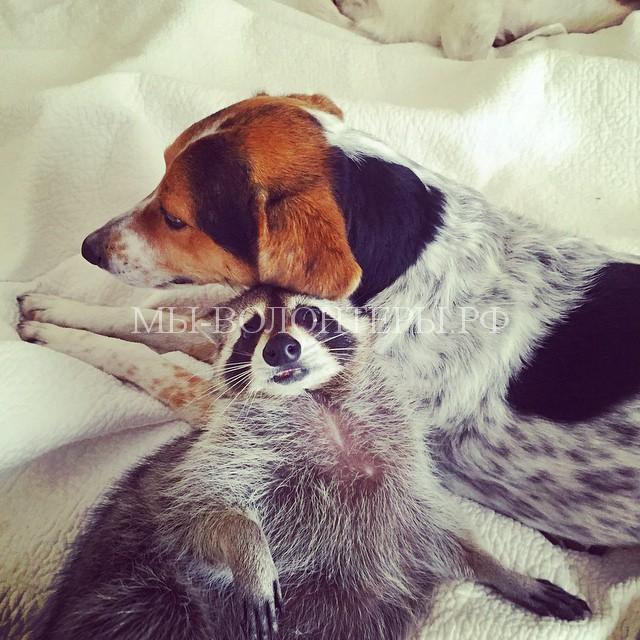 енот и собака4