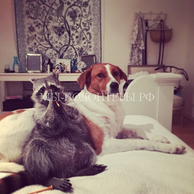 енот и собака6