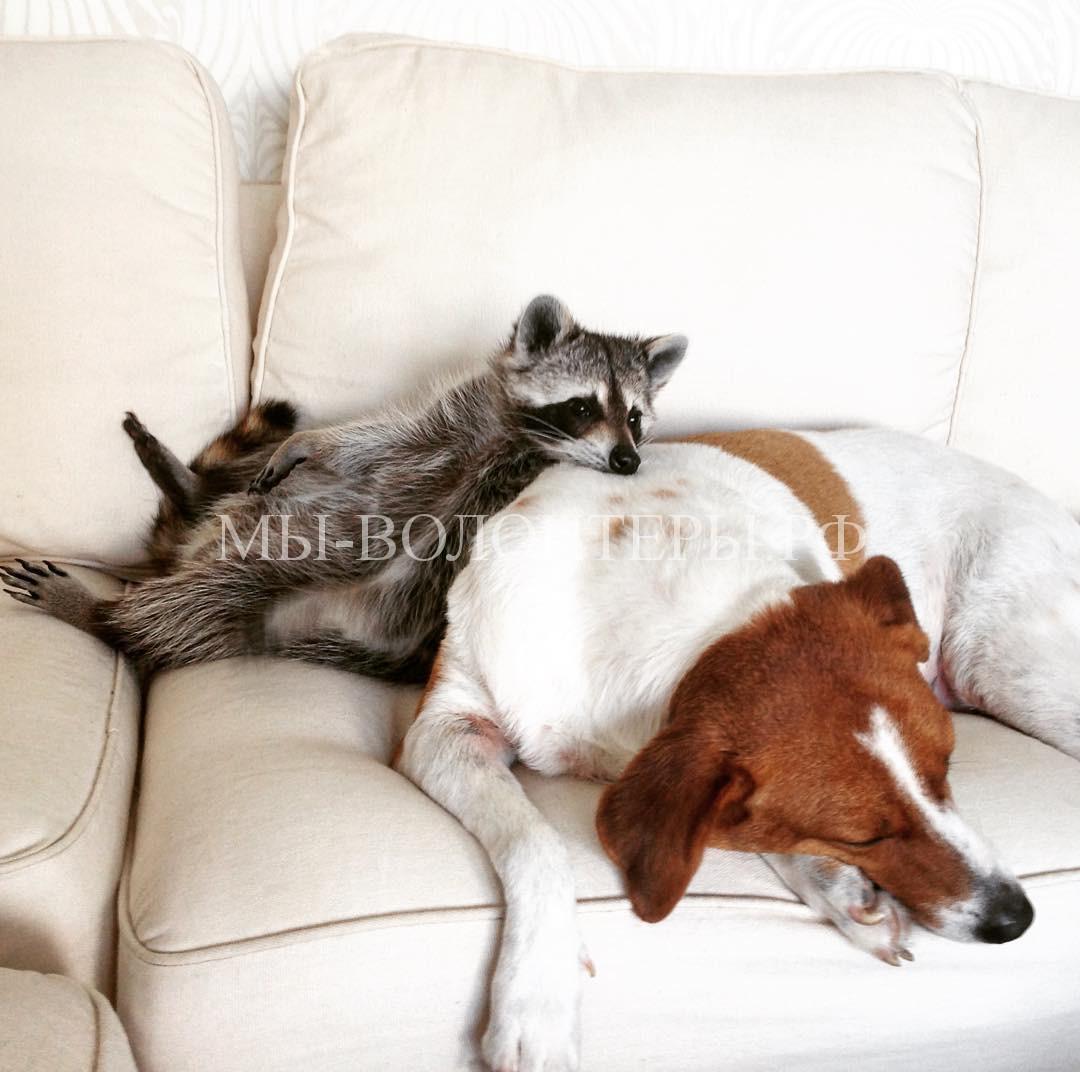 енот и собака8