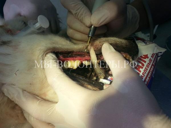 Острый гингивит-парадонтит и зубной камень — история болезни одной собаки