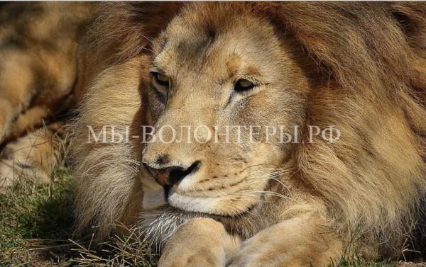 Лев Грей из затопленного зоопарка Уссурийска прошел курс реабилитации