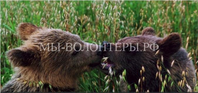 Пермский медвежонок, у которого браконьеры убили маму, выпущен на волю и нашел себе пару