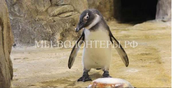 Пингвиненку, появившемуся на свет в Красноярском зоопарке исполнился годик