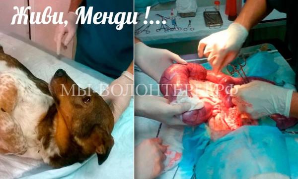 Приют Щербинка: наша Менди перенесла операцию в связи с пиометрой
