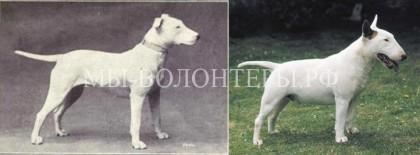 """К чему привели 100 лет """"улучшения"""" породистых собак"""