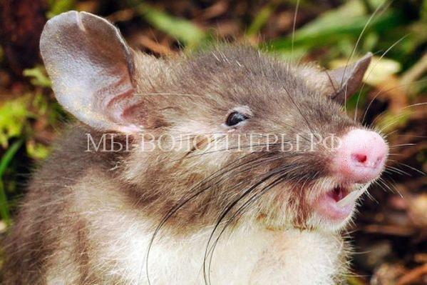 В Индонезии обнаружено новое животное — свиноносая крыса