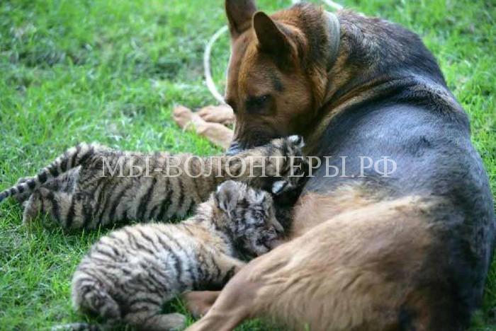 Собака выкармливает трех тигрят в сочинском зоопарке
